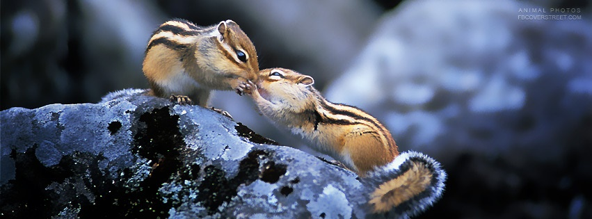 Kissing Chipmunks Facebook Cover