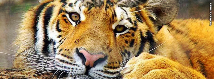Resting Tiger Facebook Cover