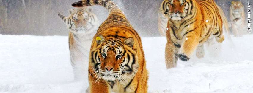 Winter Tigers Running  Facebook Cover