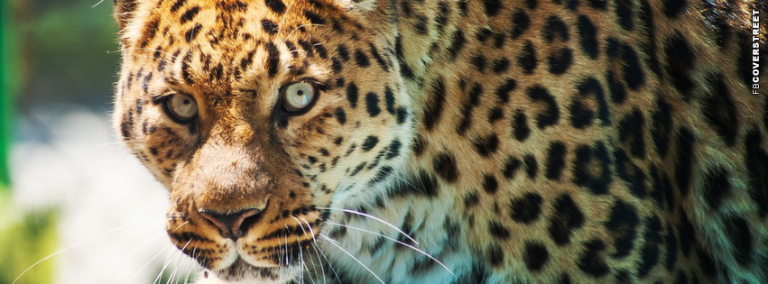 Glaring Leopard  Facebook cover