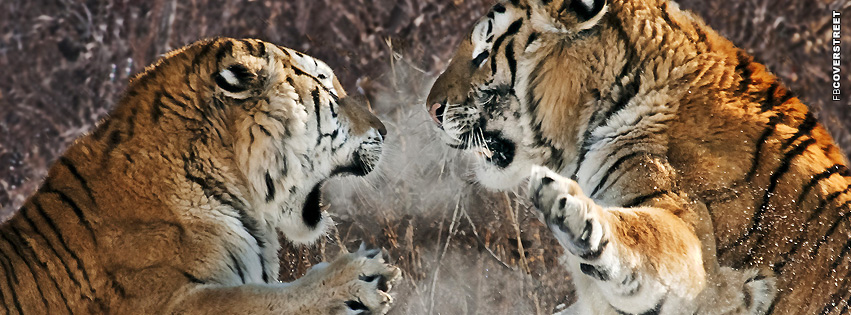 Tigers Fighting  Facebook cover