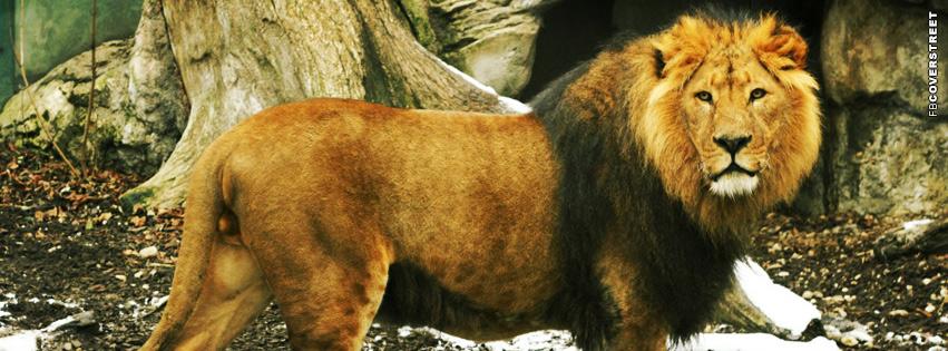 Beautiful Lion Facebook cover
