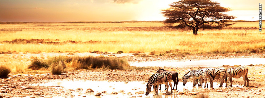 Zebra In Dry Africa  Facebook cover