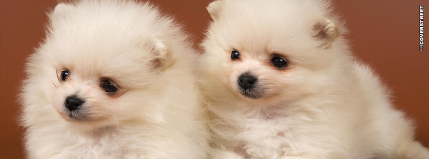 Puppies Pomeranian  Facebook cover
